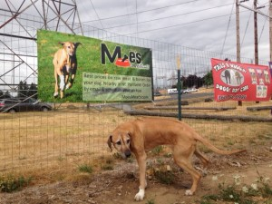 Moe marking his territory under a banner at Ross Dog Park in Vancouver, WA