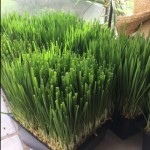 Wheatgrass for dogs and cats at Moe's Meats